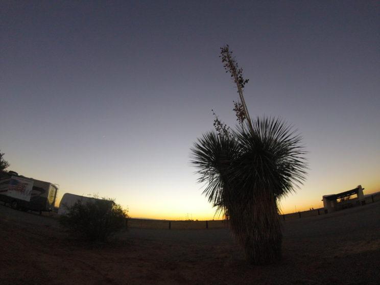 nature soaptree yucca
