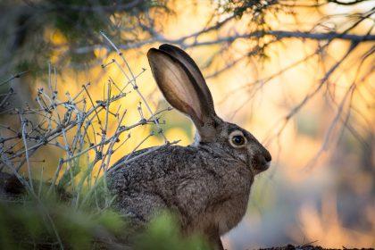 Rabbit Boss by Thomas Sanchez Featured Image